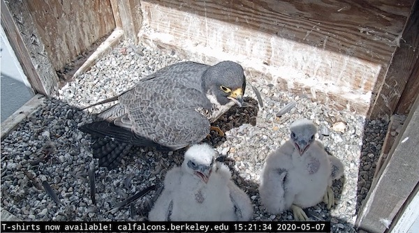 East Bay Good News | peregrine falcon chicks